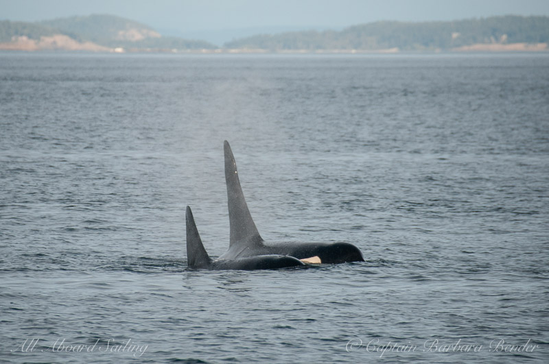 L105 Fluke next to L41 Mega (the biggest male in the SRKW community)