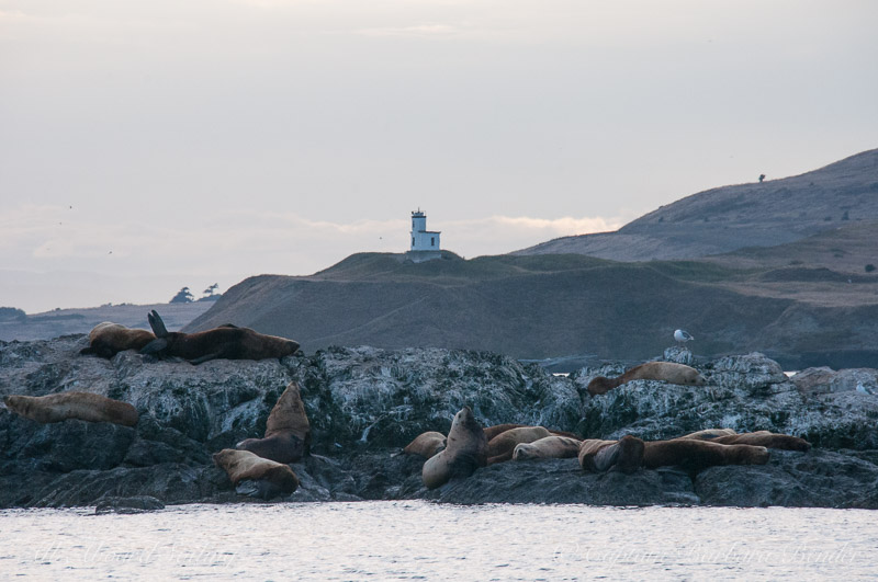 Steller sea lions on Whale Rocks