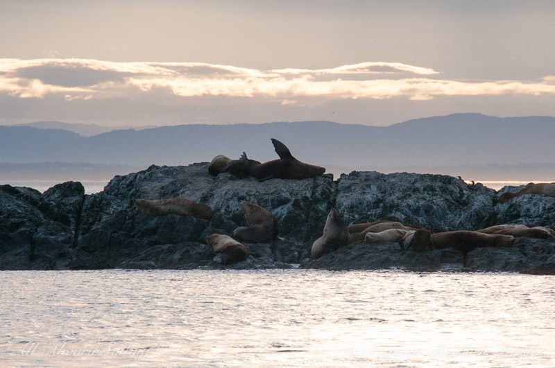 Steller sea lions watching the sunset