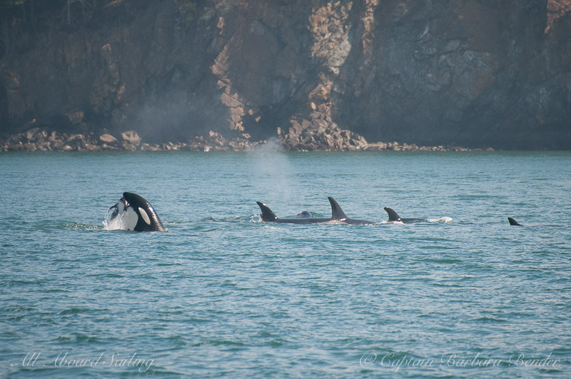 Transient killer whales preying on a harbor seal