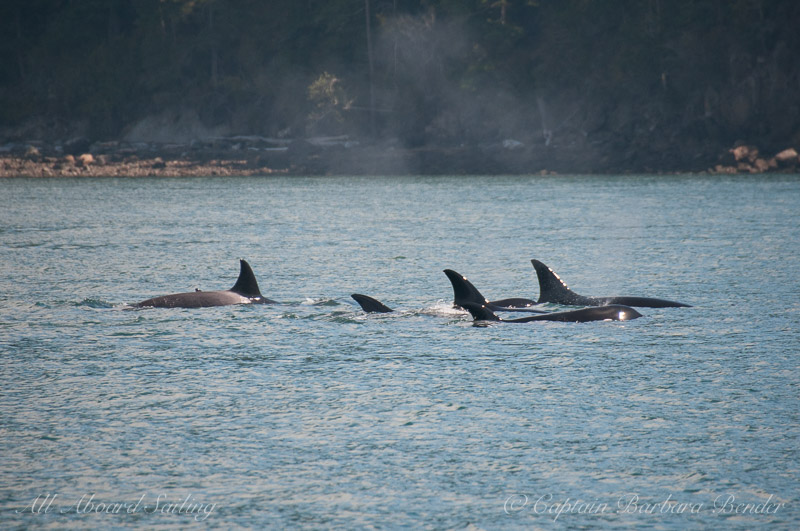 Tight group of transient killer whales