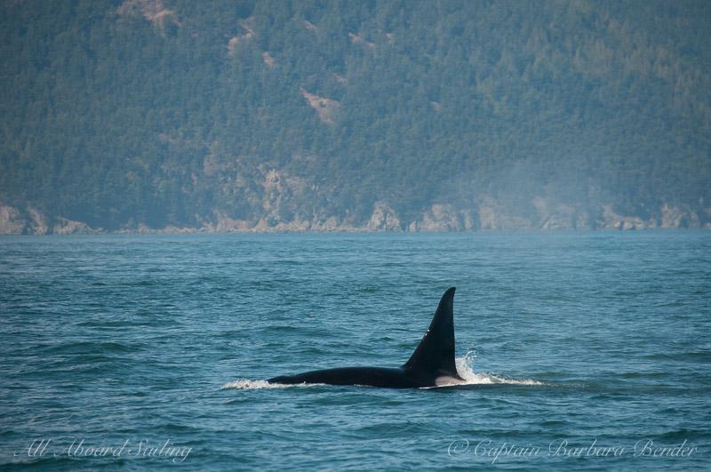 Transient orca T19C