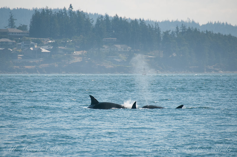 Transient killer whales hunting
