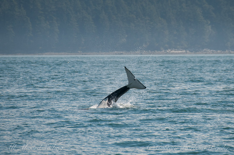 Killer whale headstand