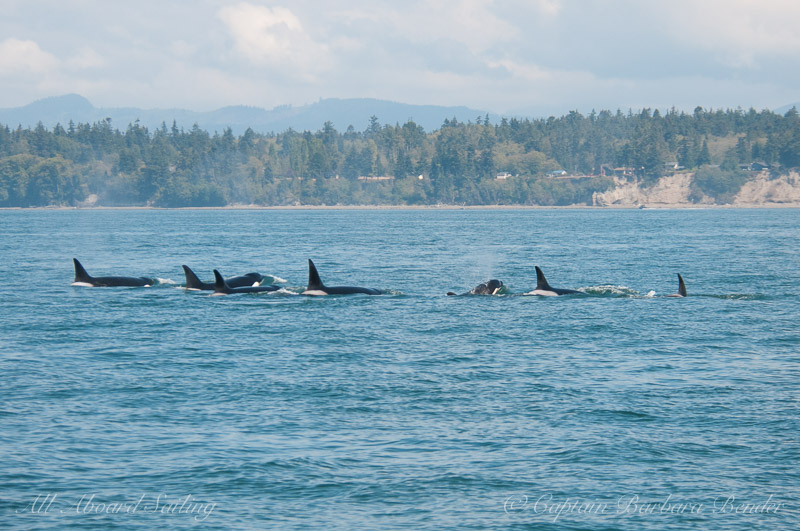 Transient orcas headed for Guemes Channel