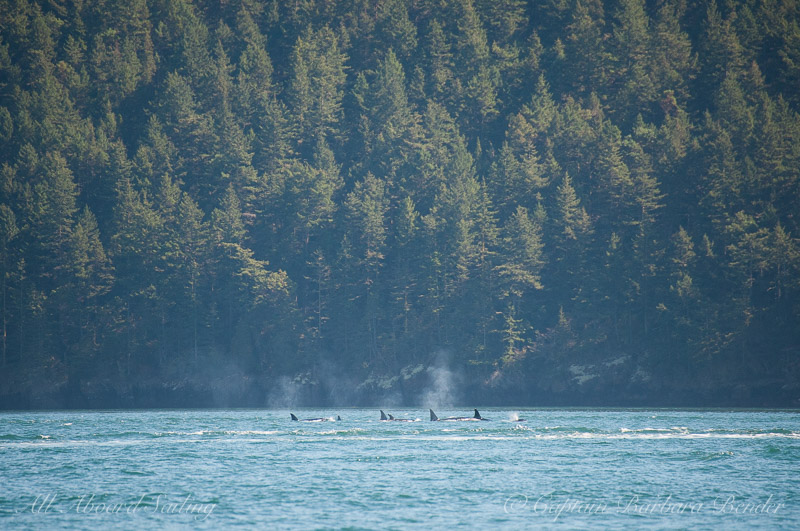 Large group of orcas hugging the shoreline
