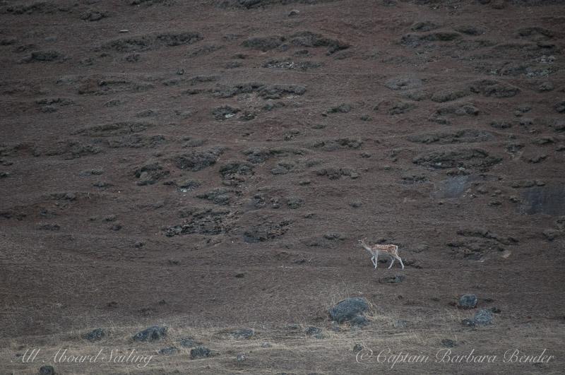 Fallow Deer, Spieden Island
