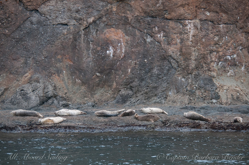 Harbor Seals hauled out for a snooze