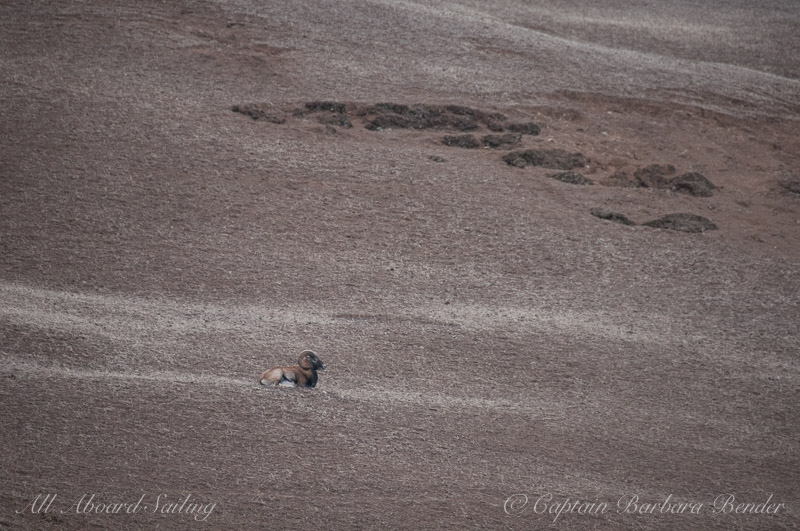 Mouflon Ram on Spieden Island