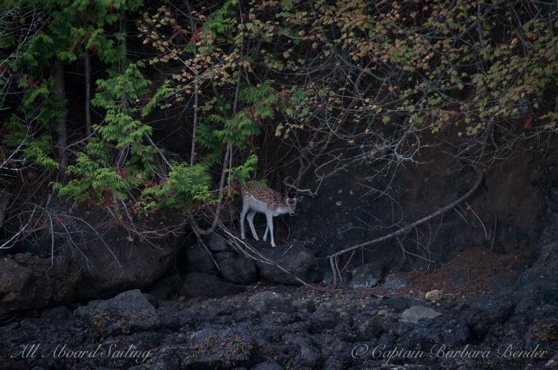 Fallow Deer peeking through the trees