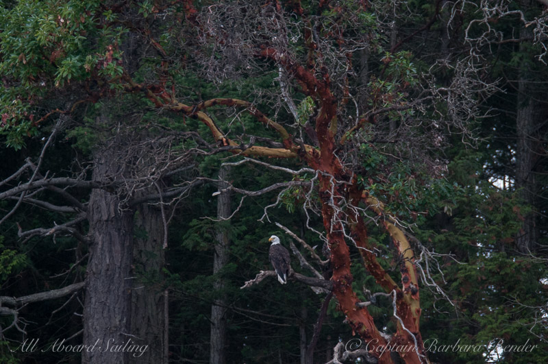 Bald Eagle in Pacific Madrone tree
