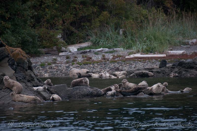 Harbor Seals on Flattop Island