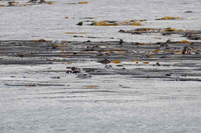 Harbor seals hiding in bull kelp
