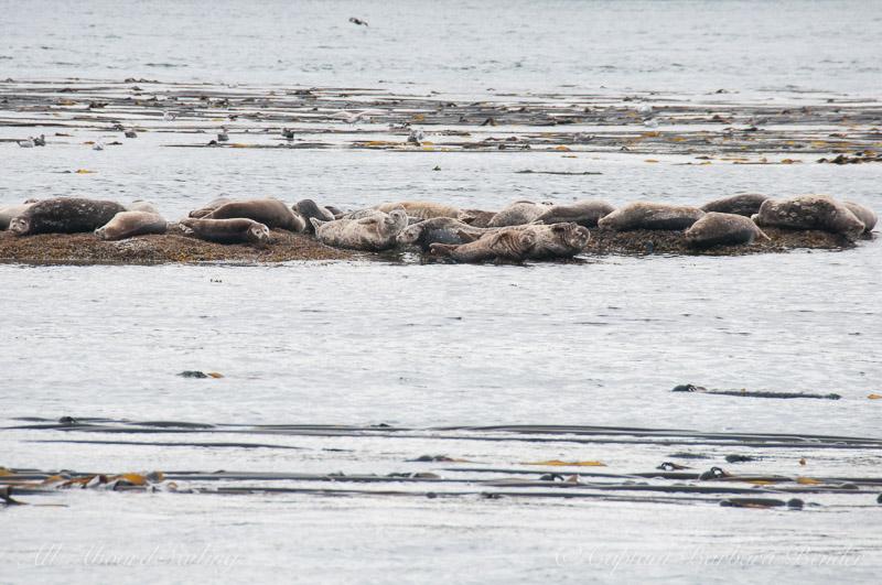 Harbor seals relaxing
