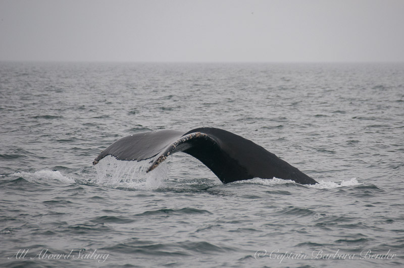 Humpback Whale going on a deep dive