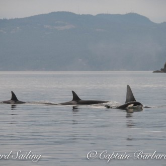 Sailing with Transient Killer Whales – the T60's