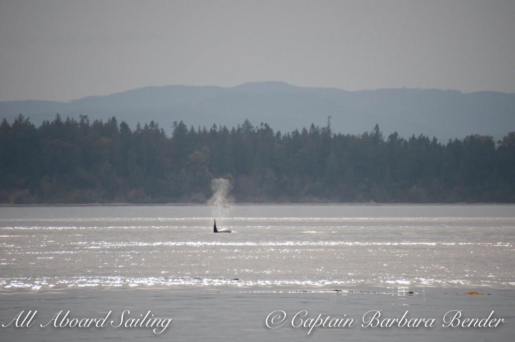 Transient killer whale T60C