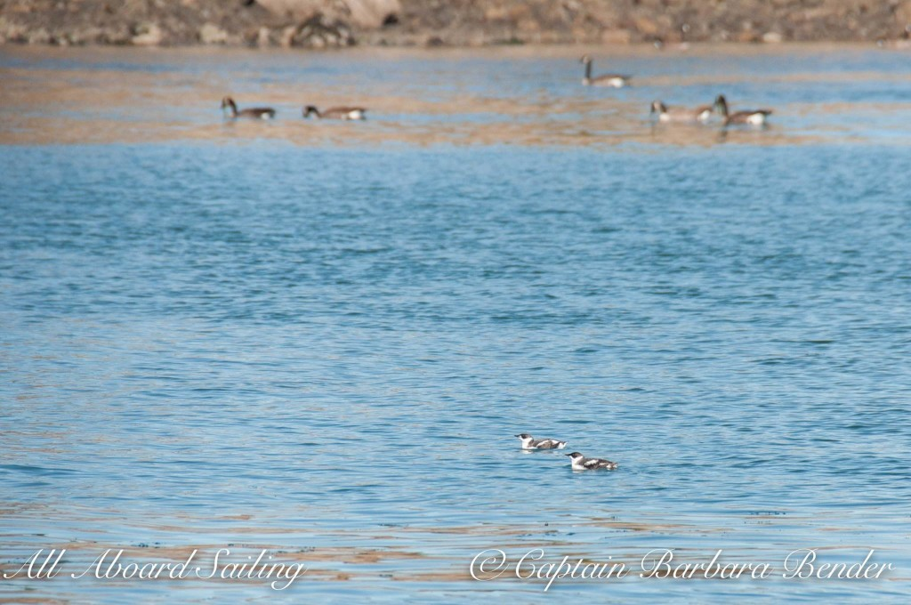 Pair of Marbled Murrelets, Canada Geese in background