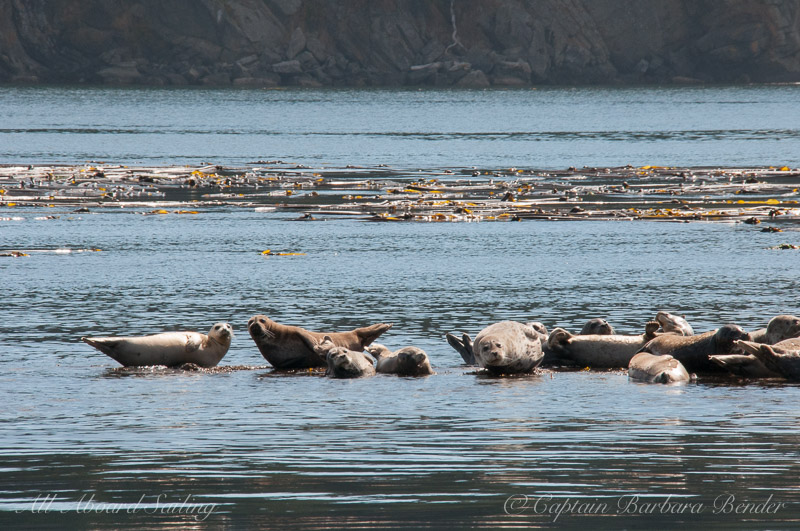 Harbor Seals in New Channel