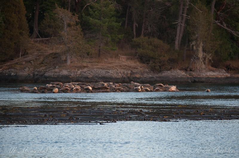 A rock full of Harbor Seals