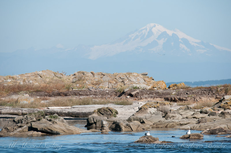 Harbor seal and Mt Baker