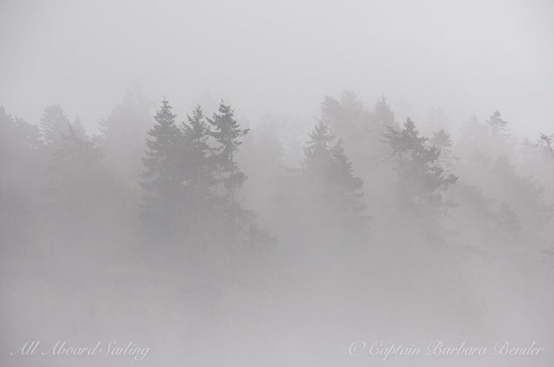Douglas Fir trees engulfed in fog