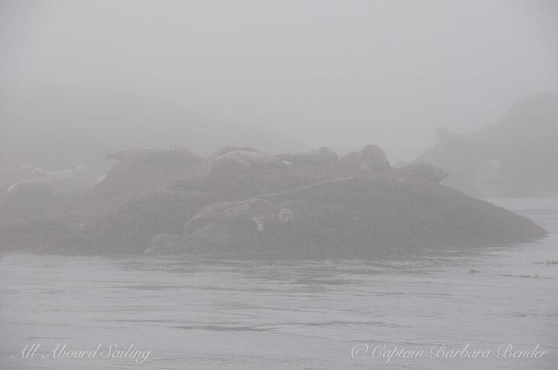 Harbor Seals hidden in the fog