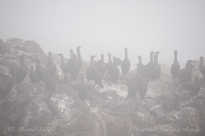 Cormorants in the fog