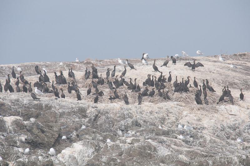 Cormorants in their nests