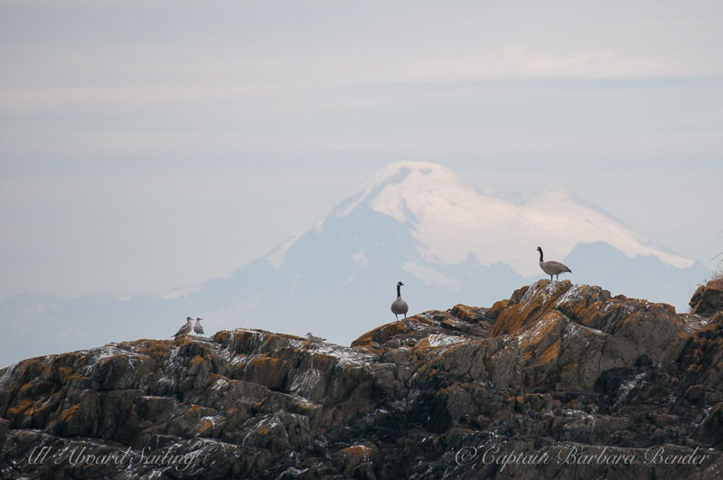 Mt Baker and Canada Geese