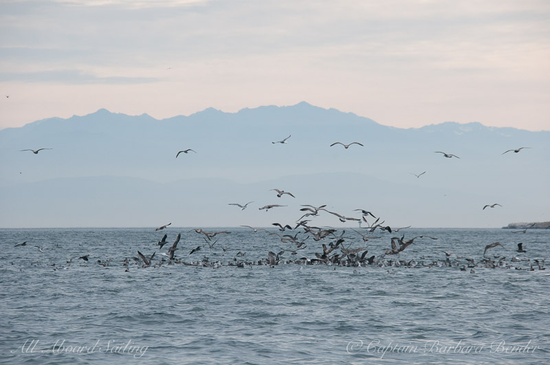 Gulls and diving birds attacking a bait ball