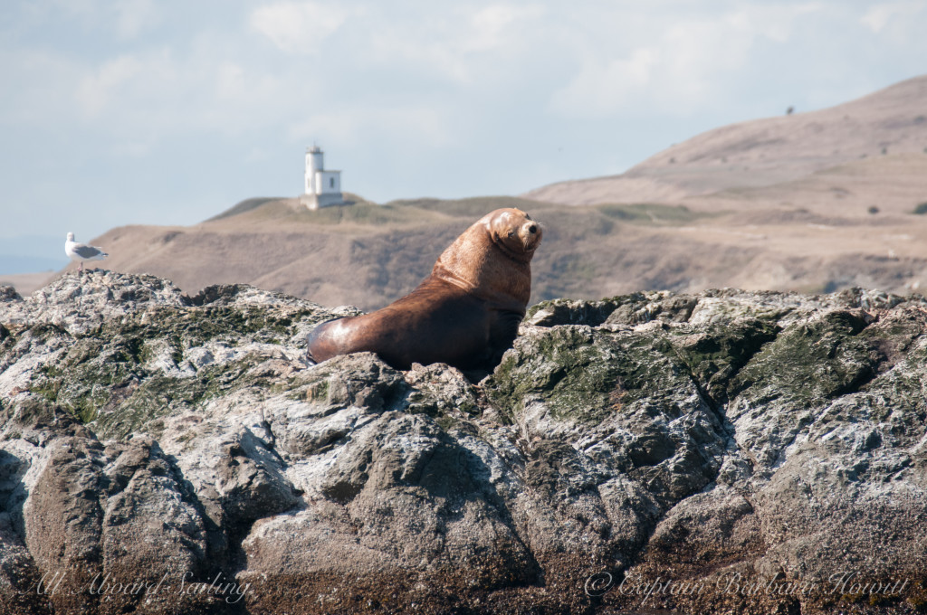 Steller Sea Lion with Cattle Point Lighthouse