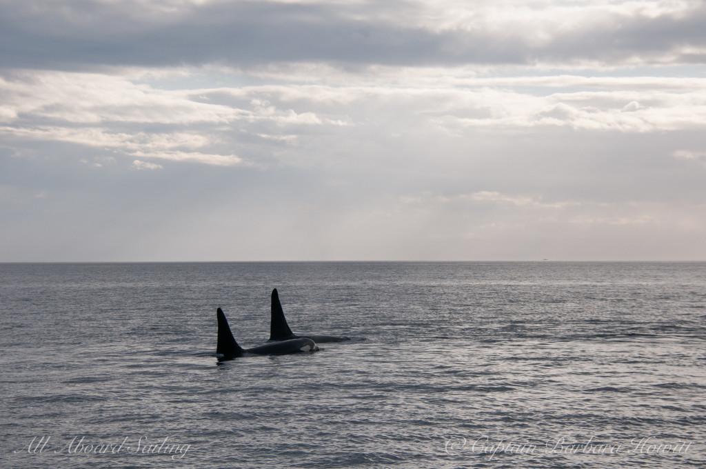 Two killer whale bulls