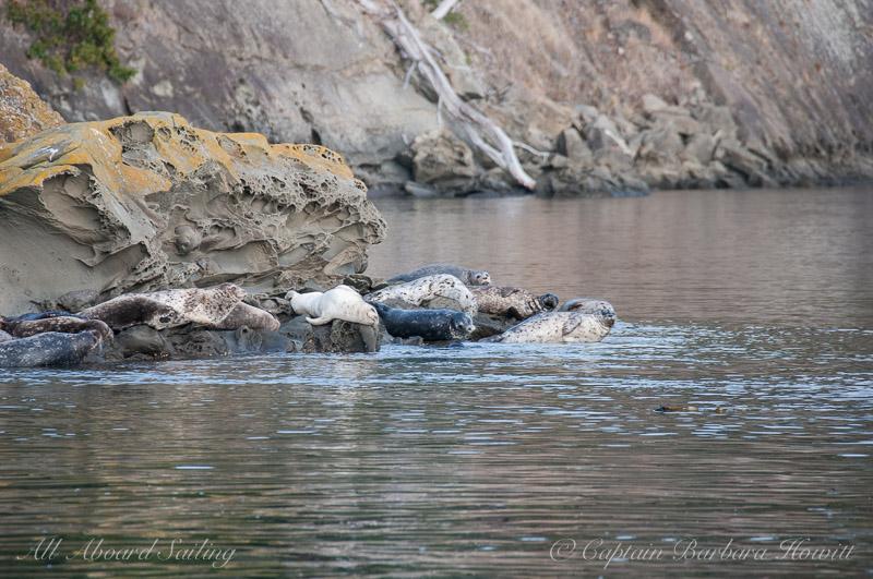 Harbor Seals at the Cactus Islands