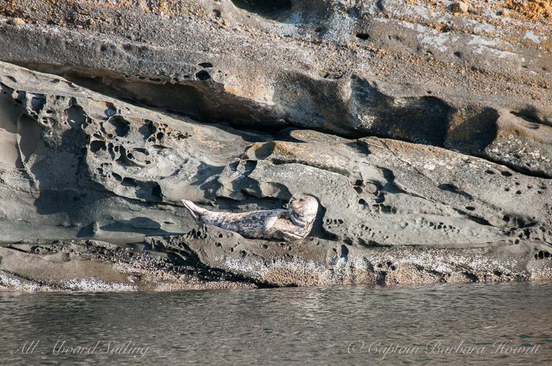 Harbor Seal, Flattop Island