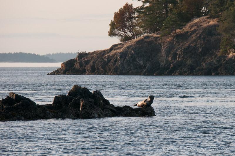 Harbor Seal balancing act