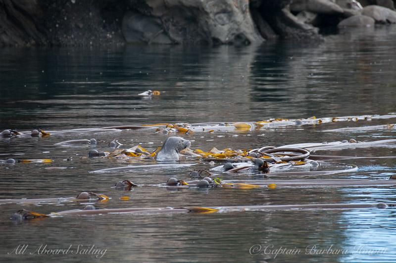 Harbor Seal in the kelp