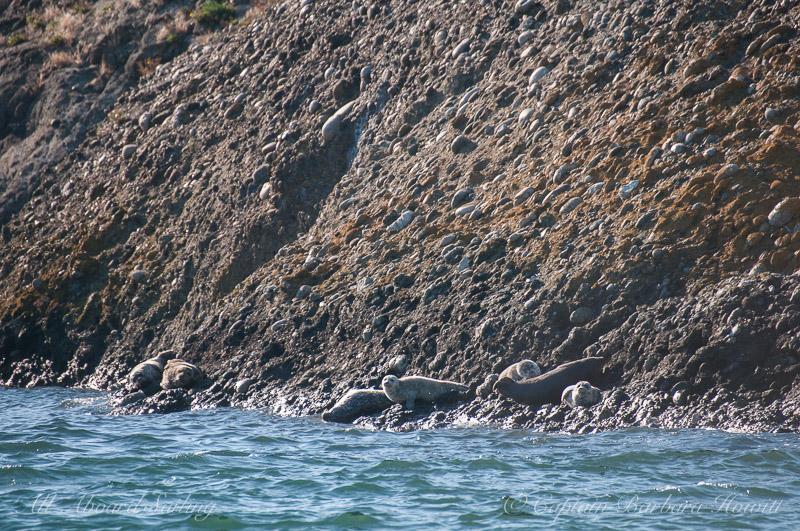Harbor seals on Gull Rock