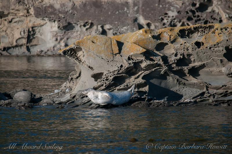 Harbor Seal basking in the sunshine