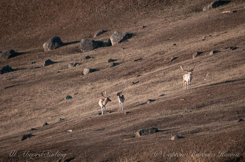 Fallow Bucks on Spieden Island