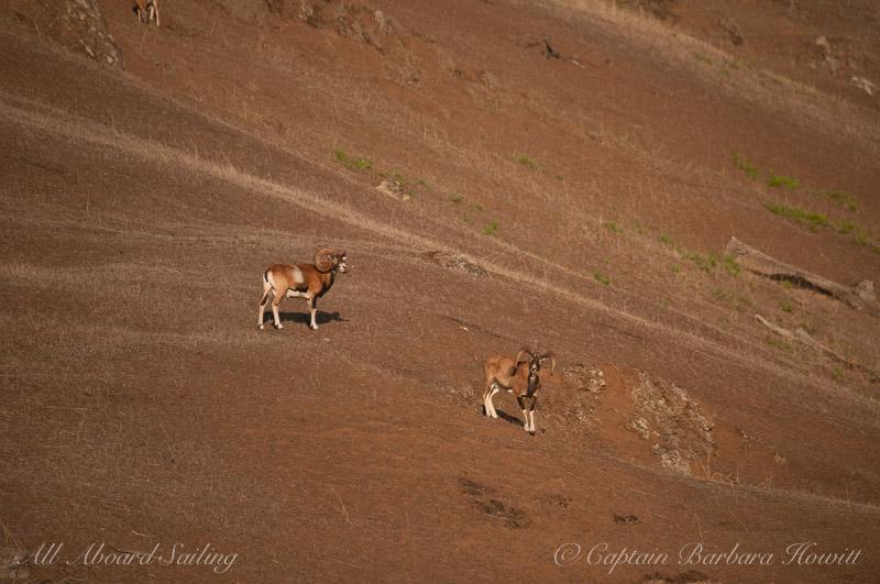 Mouflon Rams on Spieden Island