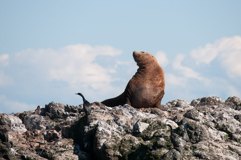 Steller sea lion and pelagic cormorant