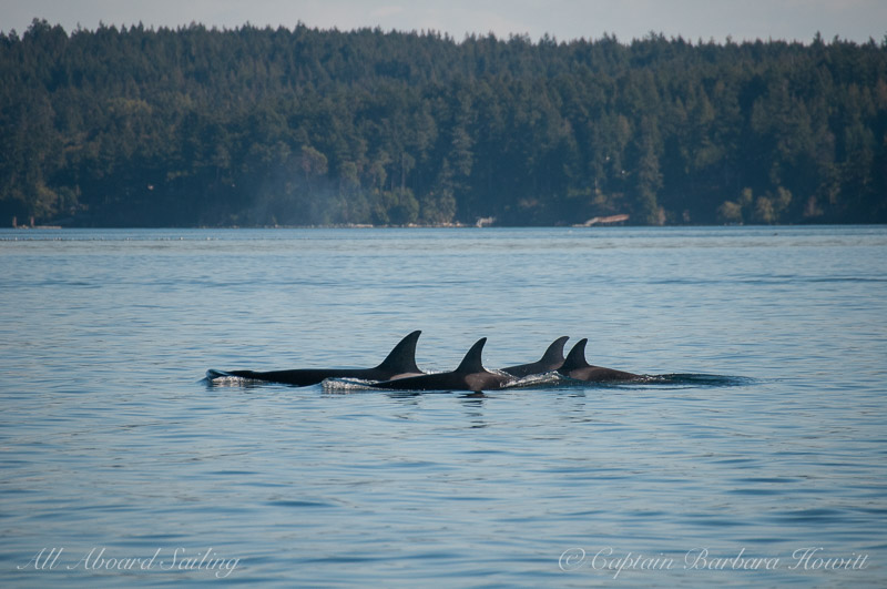 Transient killer whales T36A's