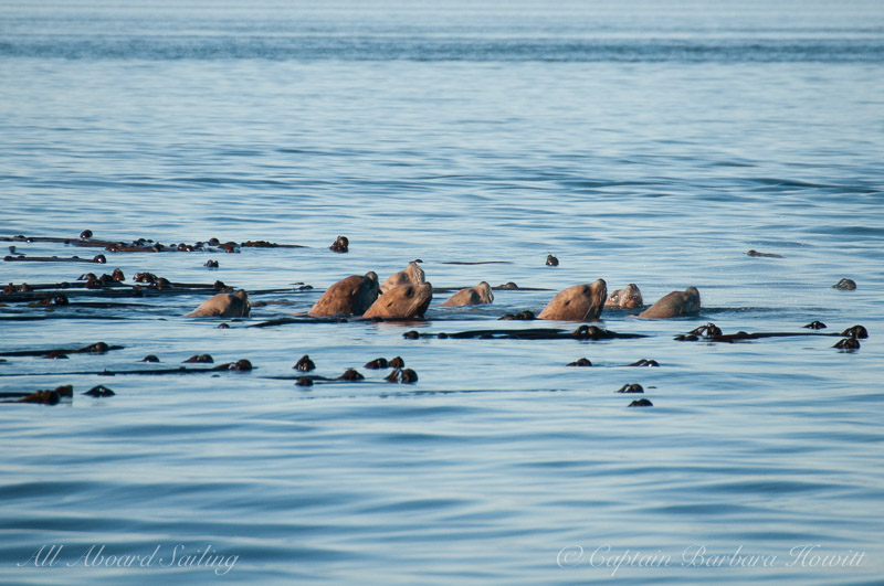 Steller sea lions on red alert as the orcas pass beside them