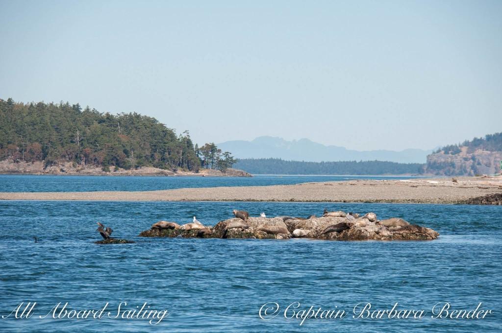 Harbor Seals off Yellow Island