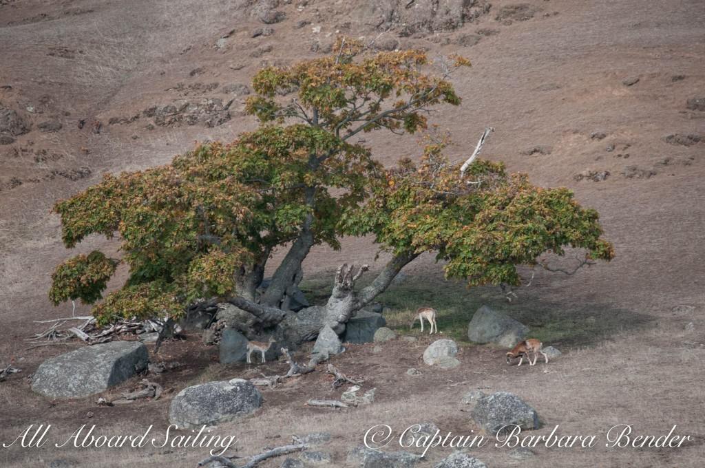Fallow Deer and Mouflon Ram on Spieden Island