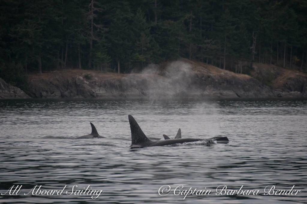 Transient orcas T60's