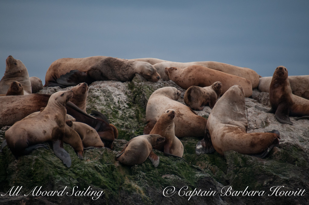 Steller sea lions on Whale Rocks - males, females and pups?