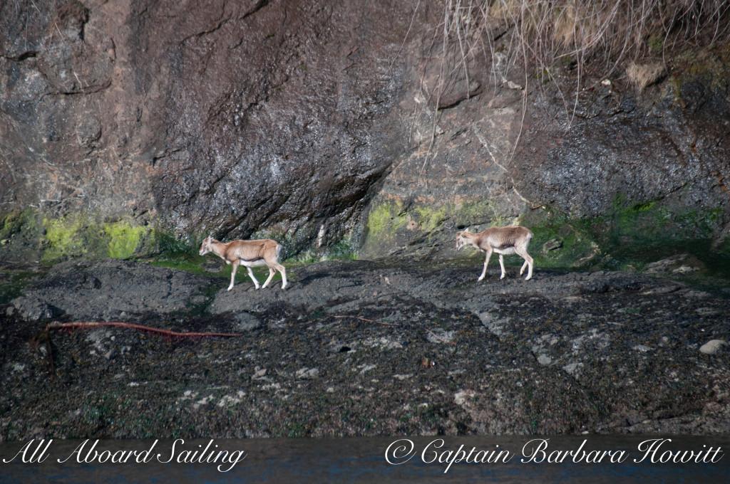 Mouflon Sheep on Spieden Island