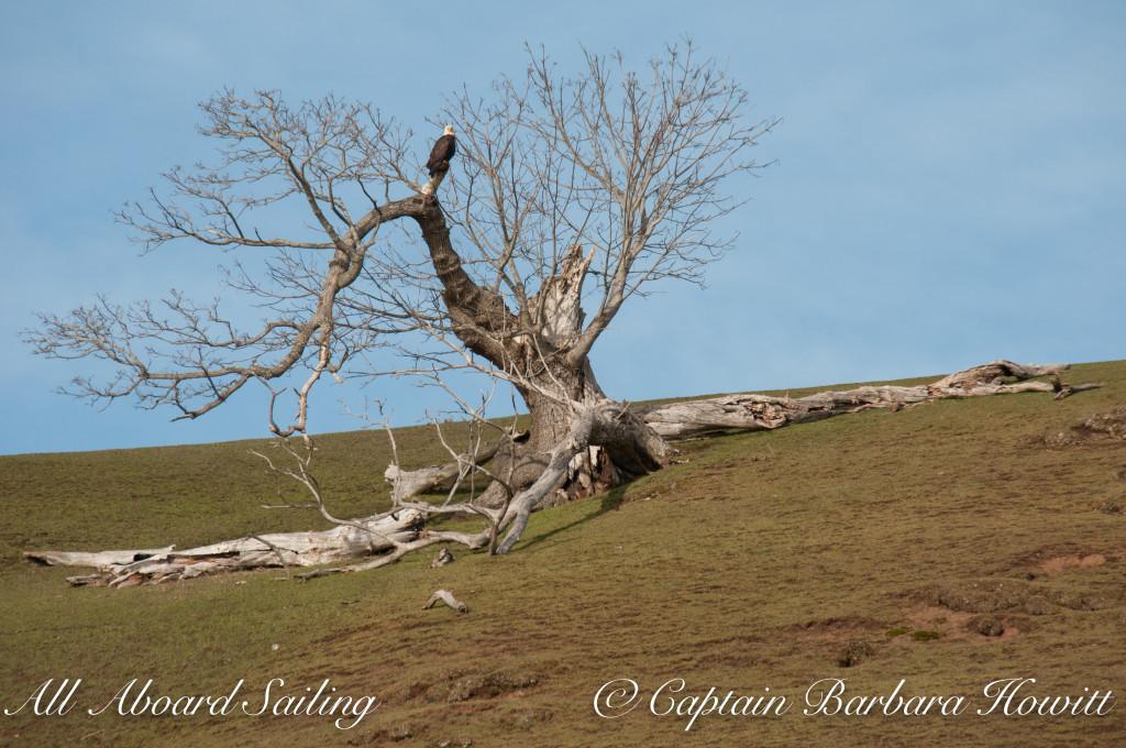 Bald eagle on Gary Oak tree